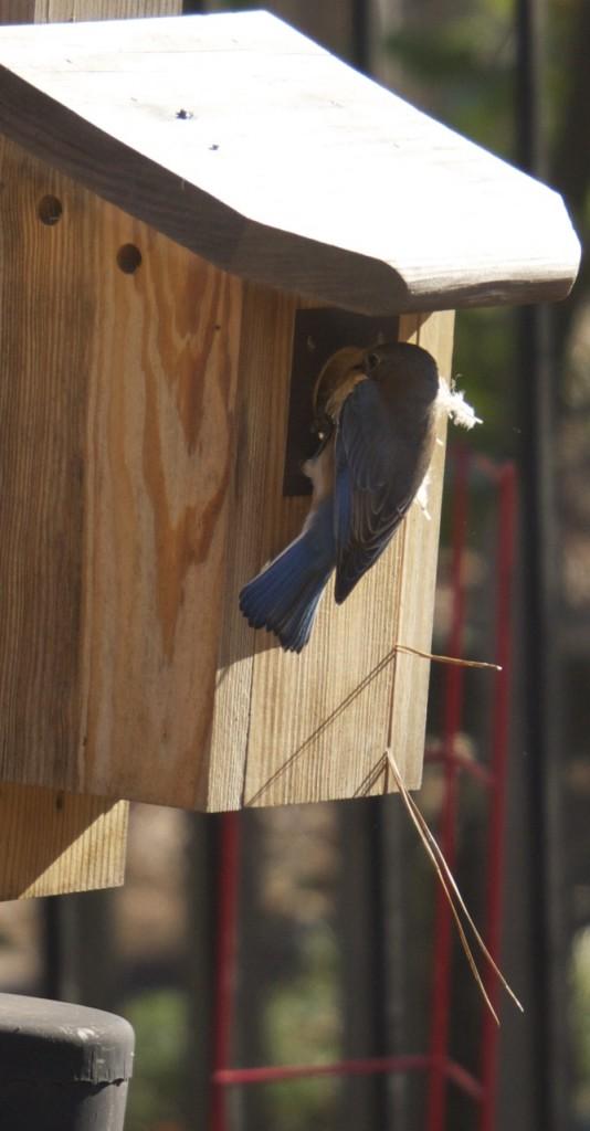 bluebirds_03