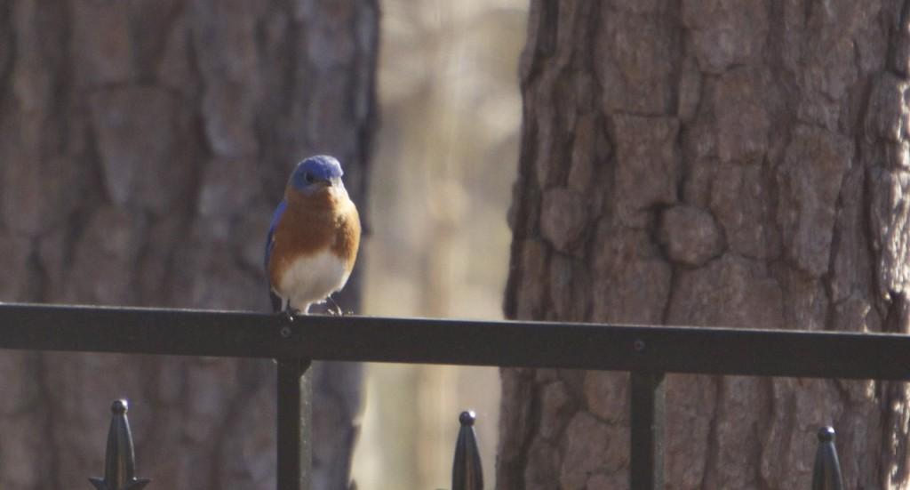 bluebirds_05